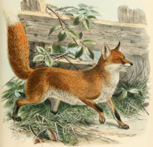Keulemans_common_fox