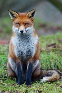 220px-Fox_study_6